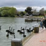 schwarze Schwäne am Lake Rotorua