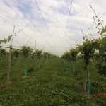 die endlosen Reihen der Kiwipflanzen