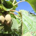 Gold-Kiwi-Früchte am Baum