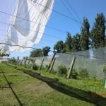 rauschende Pappeln hinterm Feld