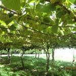 Kiwi-Früchte, aber noch unreif