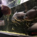 dicke Pacu-Fische