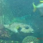 dicker Kugelfisch