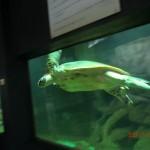 große Meeresschildkröte, wäre aber sicher lieber im Meer :-(