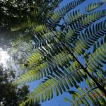 Farn des Waldes