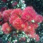 Weihnachtsbaum Pohutukawa