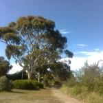 Eukalyptus-Promenade in Motueka