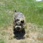 Pauls Weideschwein, was ist das?!