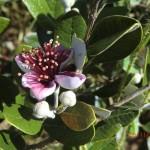 Fejoa, neuseeländische (aber eingeschleppte) Pflanze