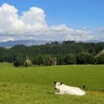 interessante Kuh auf Nachbarweide