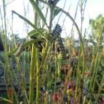 Caterpillars im abgefressenen Raupenbusch