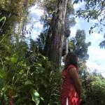 Riesenbäume (keine Kauris)