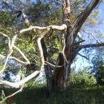 Eukalyptusbaum ohne Australien?