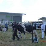 schöne Milchkühe in schwarz-weiß (Holstein-...)