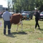 braun-weiße Kühe
