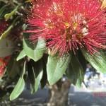 der Weihnachtsbaum blüht (Pohutukawa-Blüte)