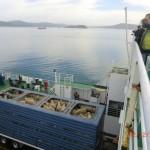 Schafe sind auch an Bord, sehr gequetscht, hoffentlich nicht seekrank