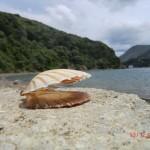 Muschel vor Bobs Bay