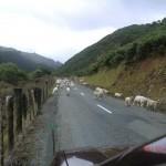 ab durch die Schafe!