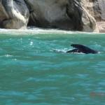 schwimmender Seelöwe vor Tonga Island