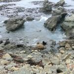 viele, viele Seelöwentiere