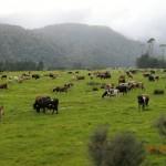 bunte Kühe auf grünen Weiden vor vernebelten Bergen