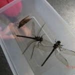 Dragonflies in einer Box