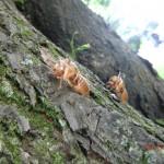 leere Zikadenhüllen am Baumstamm