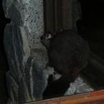 Uah, was ist das? Ein Possum!!!