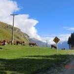Wozu Zäune, wenn die Kühe eh auf die Fahrbann rennen?
