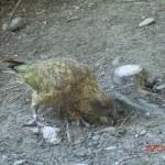 Kea - neuseeländischer Bergpapagei (frisst gern Autogummidichtungen)