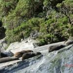 noch näher: faule Seelöwen in der Sonne