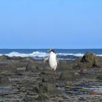 Gelbaugen-Pinguin - lustiges Kerlchen
