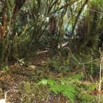 auf dem Weg zu den McLean Falls durch Urwald