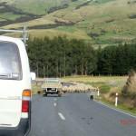wieder einmal Schafe treiben