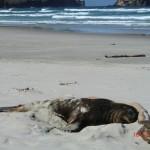 fauler Seelöwe - sieht aus wie Treibholz
