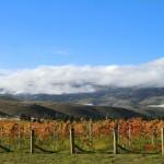 Clearvue Vineyard in Herbstfarben I