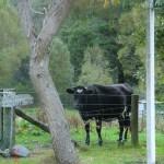 Kuh im Garten - mit der hatten wir Spaß...