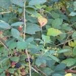 leckere Brombeeren im Flusstal