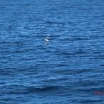 auf der Fähre gen Norden VIII (vielleicht ein Albatross)