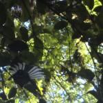 toller Regenwald-Walk, Ship Creek: Fantail im Geäst