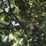 toller Regenwald-Walk, Ship Creek: Fantail-Paar
