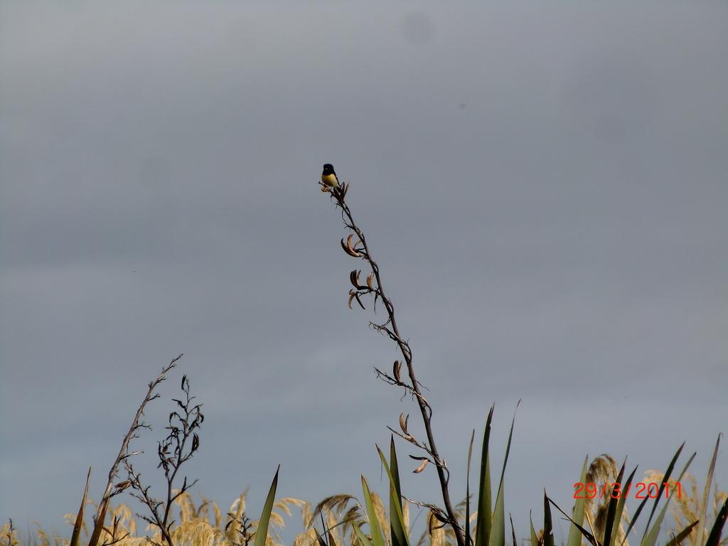 Ship Creek: Tomtit-Vogel auf Flachs