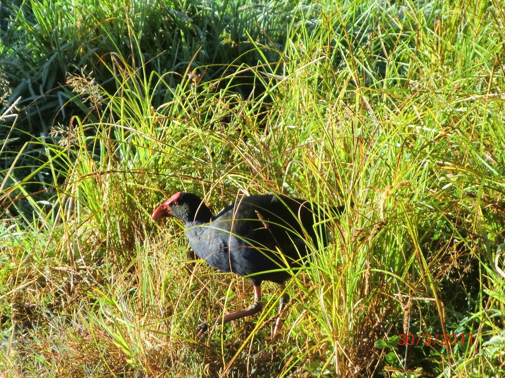 lustiger Pukeko im hohen Gras