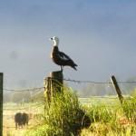 stolze Ente auf Weidezaun im Morgenlicht