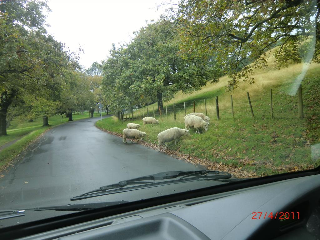 am One Tree Hill zwischen Schafen (war damals ganz neu für uns, heute normal)
