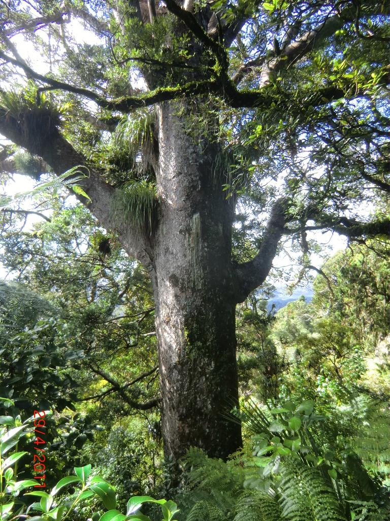 Kauri-Baum am Scenic Drive