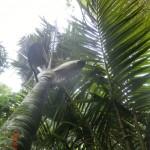 Walk zum Upper Huia Dam VIII - Nikau Palme
