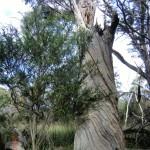 gewundener Eukalyptusbaum
