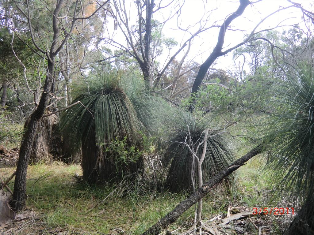 Känguruh-Schwanz-Pflanzen (Schwanz bildet sich erst nach Schaden durch Hitze o.ä.)